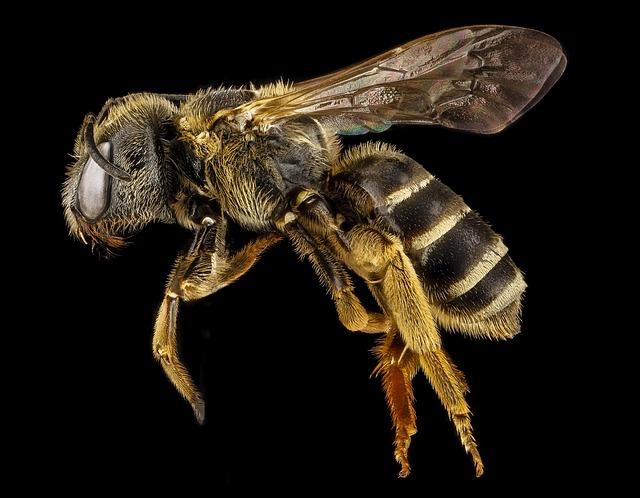 včela na černém pozadí
